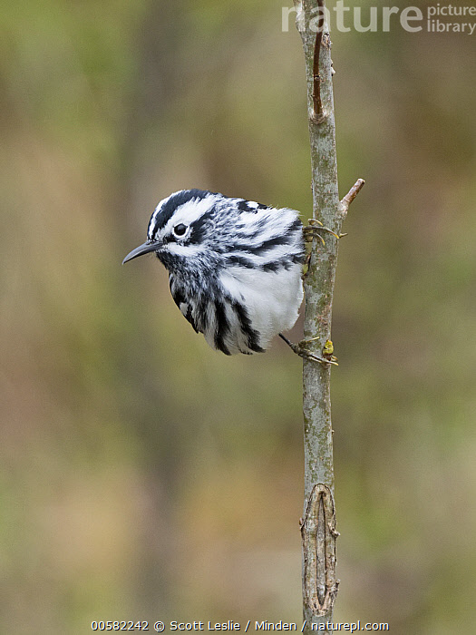 Black-and-white Warbler (Mniotilta varia) male in spring, Maine  ,  Adult, Black-and-white Warbler, Color Image, Day, Front View, Full Length, Maine, Male, Mniotilta varia, Nobody, One Animal, Outdoors, Photography, Songbird, Spring, Vertical, Wildlife,Black-and-white Warbler,Maine, USA  ,  Scott Leslie