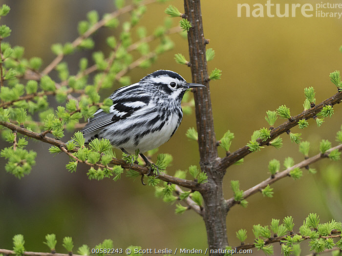 Black-and-white Warbler (Mniotilta varia) male in spring, Maine, Adult, Black-and-white Warbler, Color Image, Day, Full Length, Horizontal, Maine, Male, Mniotilta varia, Nobody, One Animal, Outdoors, Photography, Side View, Songbird, Spring, Wildlife,Black-and-white Warbler,Maine, USA, Scott Leslie