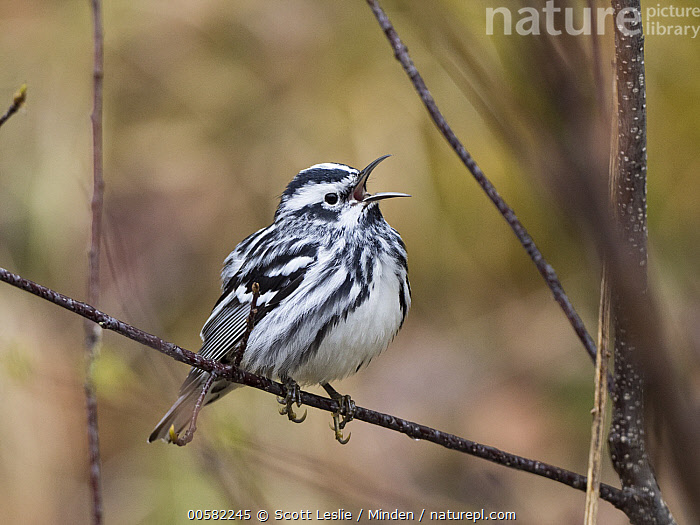 Black-and-white Warbler (Mniotilta varia) male calling in spring, Maine, Adult, Black-and-white Warbler, Calling, Color Image, Day, Full Length, Horizontal, Maine, Male, Mniotilta varia, Nobody, One Animal, Open Mouth, Outdoors, Photography, Side View, Singing, Songbird, Spring, Wildlife,Black-and-white Warbler,Maine, USA, Scott Leslie