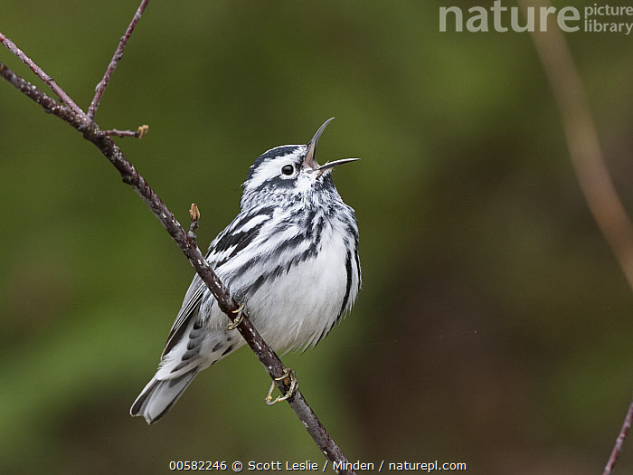 Black-and-white Warbler (Mniotilta varia) male calling in spring, Maine  ,  Adult, Black-and-white Warbler, Calling, Color Image, Day, Full Length, Horizontal, Maine, Male, Mniotilta varia, Nobody, One Animal, Open Mouth, Outdoors, Photography, Side View, Singing, Songbird, Spring, Wildlife,Black-and-white Warbler,Maine, USA  ,  Scott Leslie