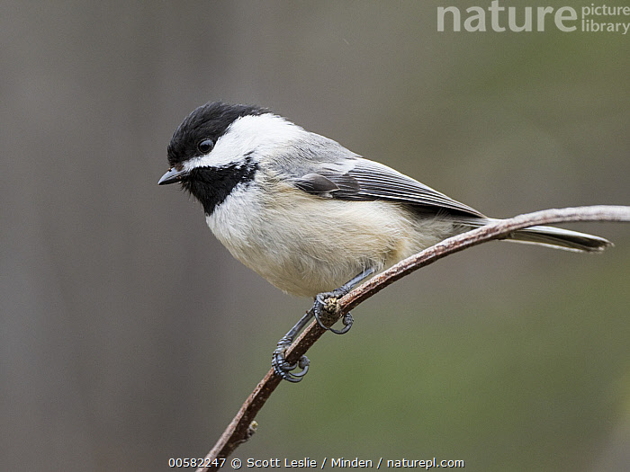 Black-capped Chickadee (Poecile atricapillus) in spring, Maine  ,  Adult, Black-capped Chickadee, Color Image, Day, Full Length, Horizontal, Maine, Nobody, One Animal, Outdoors, Photography, Poecile atricapillus, Side View, Songbird, Spring, Wildlife,Black-capped Chickadee,Maine, USA  ,  Scott Leslie