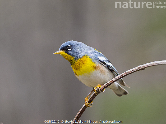Northern Parula (Setophaga americana) male in spring, Maine, Adult, Color Image, Day, Full Length, Horizontal, Maine, Male, Nobody, Northern Parula, One Animal, Outdoors, Photography, Setophaga americana, Side View, Songbird, Spring, Wildlife,Northern Parula,Maine, USA, Scott Leslie