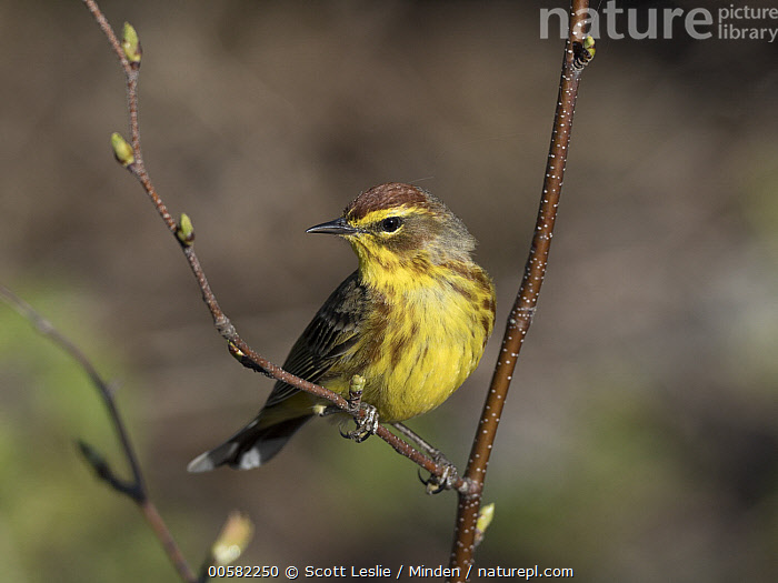 Palm Warbler (Setophaga palmarum) male in spring, Maine, Adult, Color Image, Day, Full Length, Horizontal, Maine, Male, Nobody, One Animal, Outdoors, Palm Warbler, Photography, Setophaga palmarum, Side View, Songbird, Spring, Wildlife,Palm Warbler,Maine, USA, Scott Leslie