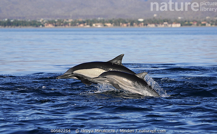 Long-beaked Common Dolphin (Delphinus capensis) mother and calf porpoising, Sea of Cortez, Mexico  ,  Adult, Baby, Calf, Color Image, Day, Delphinus capensis, Female, Horizontal, Long-beaked Common Dolphin, Marine Mammal, Mexico, Mother, Nobody, Outdoors, Parent, Photography, Porpoising, Sea of Cortez, Side View, Surface, Two Animals, Waist Up, Wildlife  ,  Hiroya Minakuchi