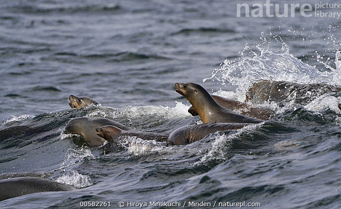 California Sea Lion (Zalophus californianus) group foraging for Northern Anchovy (Engraulis mordax), Monterey Bay, California, Adult, California Sea Lion, California, Color Image, Day, Engraulis mordax, Foraging, Full Length, Horizontal, Hunting, Marine Mammal, Medium Group of Animals, Monterey Bay, Nobody, Northern Anchovy, Outdoors, Photography, Side View, Surface, Surfacing, Wildlife, Zalophus californianus,California Sea Lion,Northern Anchovy,Engraulis mordax,California, USA, Hiroya Minakuchi