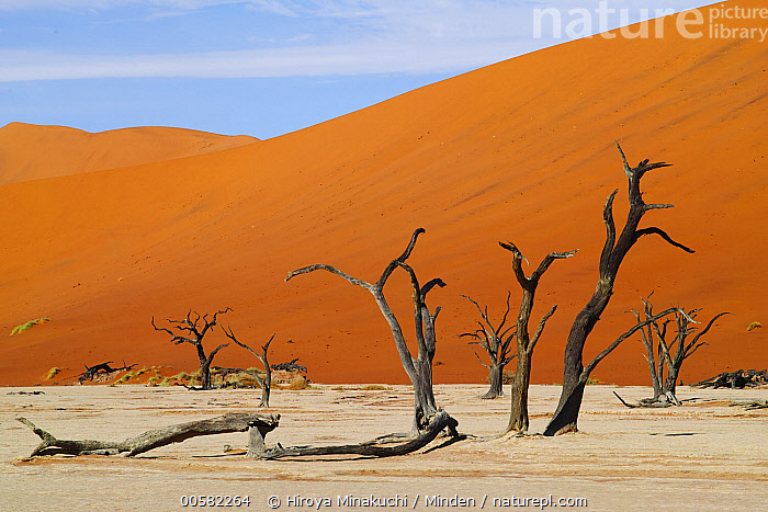 Camelthorn Acacia (Acacia erioloba) dead trees with sand dunes in background, Dead Vlei, Namib-Naukluft National Park, Namibia, Acacia erioloba, Blue Sky, Camelthorn Acacia, Color Image, Day, Dead, Dead Vlei, Desert, Desert Habitat, Horizontal, Landscape, Namib-Naukluft National Park, Namibia, Nobody, Outdoors, Photography, Sand Dune, Snag, Tree,Camelthorn Acacia,Namibia, Hiroya Minakuchi
