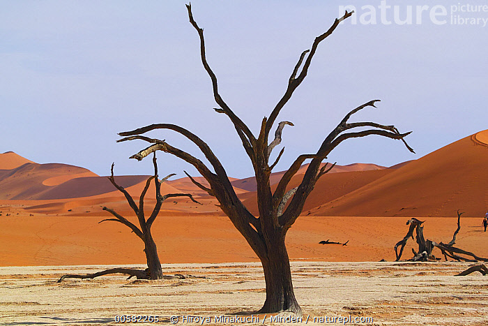 Camelthorn Acacia (Acacia erioloba) dead trees with sand dunes in background, Dead Vlei, Namib-Naukluft National Park, Namibia  ,  Acacia erioloba, Blue Sky, Camelthorn Acacia, Color Image, Day, Dead, Dead Vlei, Desert, Desert Habitat, Horizontal, Landscape, Namib-Naukluft National Park, Namibia, Nobody, Outdoors, Photography, Sand Dune, Snag, Tree  ,  Hiroya Minakuchi