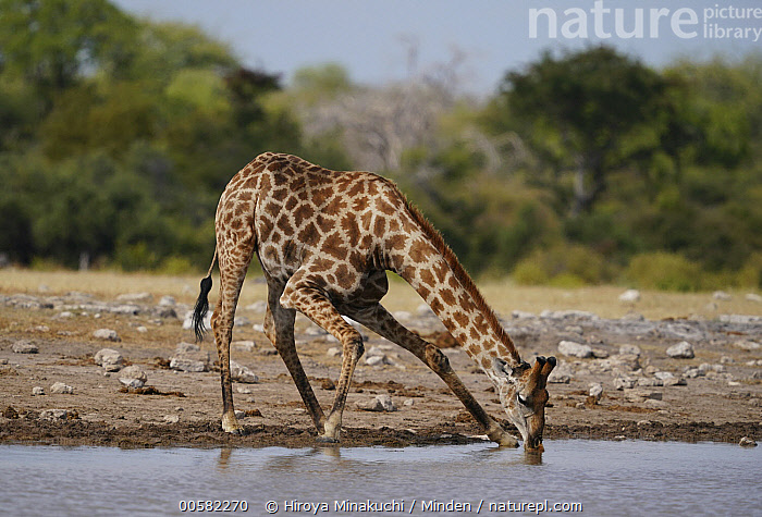 South African Giraffe (Giraffa giraffa giraffa) drinking at waterhole, Etosha National Park, Namibia  ,  Adult, Color Image, Day, Drinking, Etosha National Park, Full Length, Giraffa giraffa giraffa, Horizontal, Namibia, Nobody, One Animal, Outdoors, Photography, Side View, South African Giraffe, Waterhole, Wildlife  ,  Hiroya Minakuchi