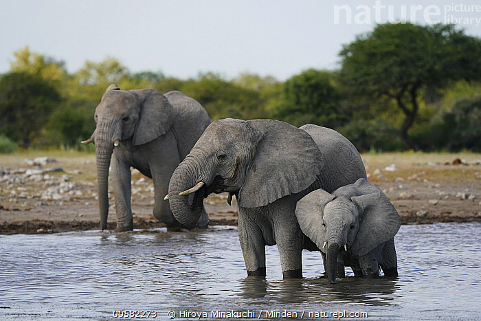 African Elephant (Loxodonta africana) trio drinking at waterhole, Etosha National Park, Namibia, Adult, African Elephant, Baby, Calf, Color Image, Day, Drinking, Etosha National Park, Female, Front View, Full Length, Horizontal, Loxodonta africana, Mother, Namibia, Nobody, Outdoors, Parent, Photography, Side View, Threatened Species, Three Animals, Vulnerable Species, Waterhole, Wildlife,African Elephant,Namibia, Hiroya Minakuchi