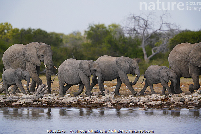 African Elephant (Loxodonta africana) herd at waterhole, Etosha National Park, Namibia, Adult, African Elephant, Baby, Calf, Color Image, Day, Etosha National Park, Female, Full Length, Herd, Horizontal, Juvenile, Loxodonta africana, Medium Group of Animals, Mother, Namibia, Nobody, Outdoors, Parent, Photography, Side View, Sub-Adult, Threatened Species, Vulnerable Species, Waterhole, Wildlife,African Elephant,Namibia, Hiroya Minakuchi