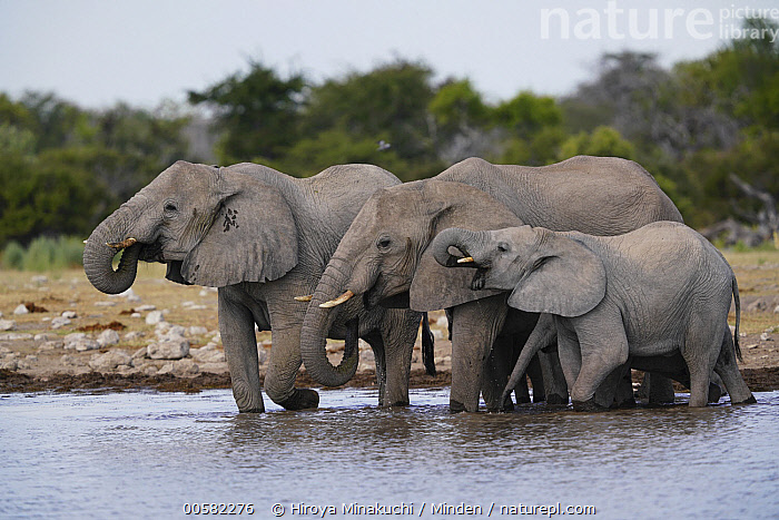 African Elephant (Loxodonta africana) herd drinking at waterhole, Etosha National Park, Namibia  ,  Adult, African Elephant, Color Image, Day, Drinking, Etosha National Park, Female, Four Animals, Full Length, Horizontal, Loxodonta africana, Mother, Namibia, Nobody, Outdoors, Parent, Photography, Side View, Sub-Adult, Threatened Species, Vulnerable Species, Waterhole, Wildlife  ,  Hiroya Minakuchi