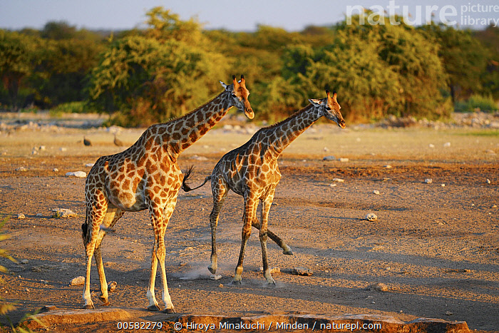 South African Giraffe (Giraffa giraffa giraffa) pair at sunset, Etosha National Park, Namibia  ,  Adult, Color Image, Day, Etosha National Park, Full Length, Giraffa giraffa giraffa, Horizontal, Namibia, Nobody, Outdoors, Photography, Running, Side View, South African Giraffe, Sunset, Two Animals, Wildlife  ,  Hiroya Minakuchi