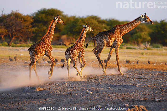 South African Giraffe (Giraffa giraffa giraffa) trio running at sunset, Etosha National Park, Namibia  ,  Adult, Baby, Calf, Color Image, Day, Etosha National Park, Female, Full Length, Giraffa giraffa giraffa, Horizontal, Mother, Namibia, Nobody, Outdoors, Parent, Photography, Running, Side View, South African Giraffe, Sunset, Three Animals, Wildlife  ,  Hiroya Minakuchi