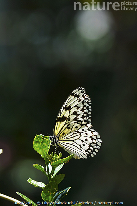 Paper Kite (Idea leuconoe) butterfly female laying eggs, Japan  ,  Adult, Butterfly, Color Image, Day, Egg, Female, Full Length, Idea leuconoe, Japan, Laying, Nobody, One Animal, Outdoors, Paper Kite, Photography, Side View, Vertical, Wildlife  ,  Hiroya Minakuchi