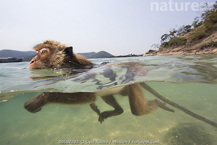 Long-tailed Macaque (Macaca fascicularis) swimming in ocean, Thailand, Adult, Color Image, Day, Horizontal, Long-tailed Macaque, Macaca fascicularis, Nobody, Ocean, One Animal, Outdoors, Photography, Side View, Split View, Swimming, Thailand, Three Quarter Length, Underwater, Water, Wide-angle Lens, Wildlife,Long-tailed Macaque,Thailand, Cyril Ruoso