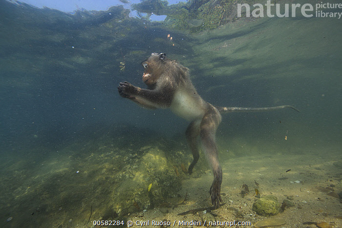 Long-tailed Macaque (Macaca fascicularis) looking underwater for food thrown by people, Thailand, Adult, Color Image, Day, Foraging, Full Length, Horizontal, Long-tailed Macaque, Macaca fascicularis, Nobody, One Animal, Outdoors, Photography, Side View, Thailand, Underwater, Water, Wildlife,Long-tailed Macaque,Thailand, Cyril Ruoso