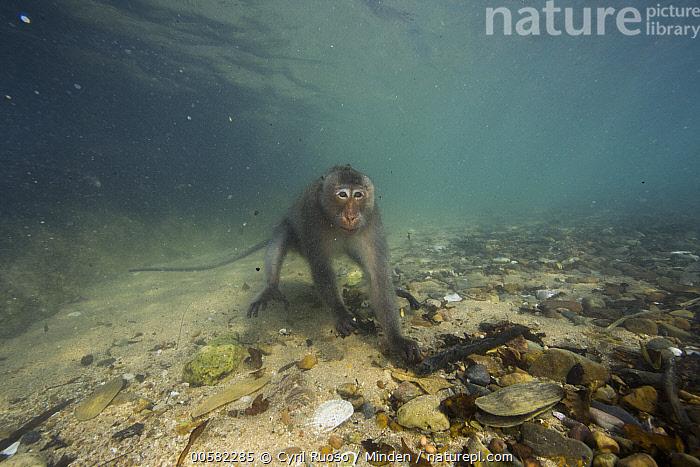Long-tailed Macaque (Macaca fascicularis) looking underwater for food thrown by people, Thailand, Adult, Color Image, Day, Foraging, Front View, Full Length, Horizontal, Looking at Camera, Long-tailed Macaque, Macaca fascicularis, Nobody, One Animal, Outdoors, Photography, Thailand, Underwater, Water, Wildlife,Long-tailed Macaque,Thailand, Cyril Ruoso