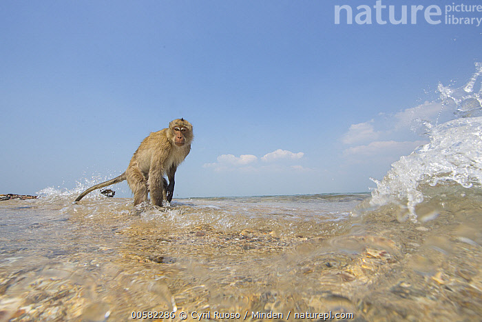 Long-tailed Macaque (Macaca fascicularis) in waves, Thailand  ,  Adult, Beach, Color Image, Day, Full Length, Horizontal, Looking at Camera, Long-tailed Macaque, Macaca fascicularis, Nobody, One Animal, Outdoors, Photography, Side View, Thailand, Wave, Wide-angle Lens, Wildlife,Long-tailed Macaque,Thailand  ,  Cyril Ruoso