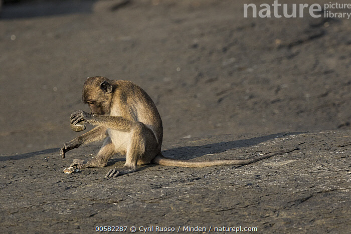 Long-tailed Macaque (Macaca fascicularis) using stone tool to crush shell, Piak Nam Yai Island, Thailand, Adult, Breaking, Color Image, Day, Feeding, Full Length, Horizontal, Long-tailed Macaque, Macaca fascicularis, Nobody, One Animal, Outdoors, Photography, Piak Nam Yai Island, Predating, Predator, Prey, Shell, Side View, Stone, Thailand, Tool Use, Wildlife,Long-tailed Macaque,Thailand, Cyril Ruoso