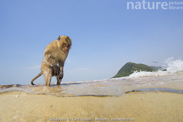 Long-tailed Macaque (Macaca fascicularis) on beach, Thailand, Adult, Beach, Color Image, Day, Full Length, Horizontal, Long-tailed Macaque, Macaca fascicularis, Nobody, One Animal, Outdoors, Photography, Side View, Split View, Thailand, Underwater, Wide-angle Lens, Wildlife,Long-tailed Macaque,Thailand, Cyril Ruoso