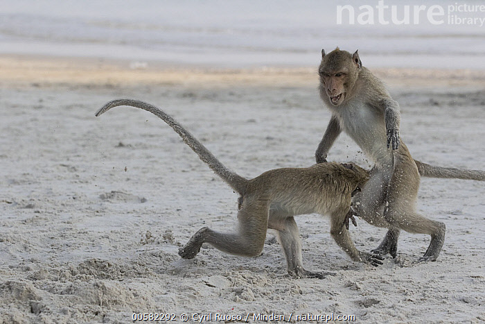 Long-tailed Macaque (Macaca fascicularis) pair playing on beach, Thailand  ,  Adult, Beach, Color Image, Day, Full Length, Horizontal, Interacting, Long-tailed Macaque, Macaca fascicularis, Nobody, Outdoors, Photography, Playing, Side View, Thailand, Two Animals, Wildlife,Long-tailed Macaque,Thailand  ,  Cyril Ruoso