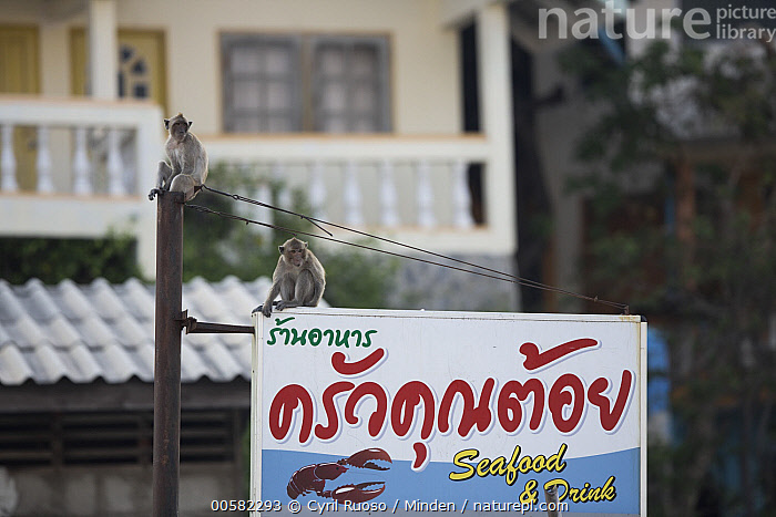 Long-tailed Macaque (Macaca fascicularis) pair in city, Thailand, Adult, City, Color Image, Day, Full Length, Horizontal, Long-tailed Macaque, Macaca fascicularis, Nobody, Outdoors, Photography, Side View, Sign, Thailand, Two Animals, Urban, Wildlife,Long-tailed Macaque,Thailand, Cyril Ruoso