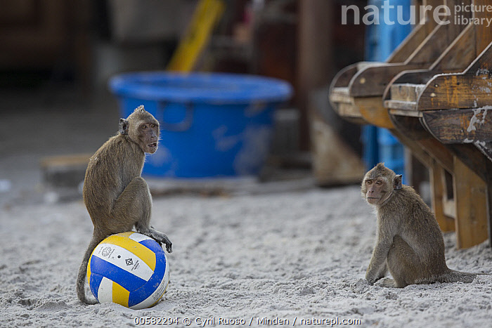 Long-tailed Macaque (Macaca fascicularis) pair on beach, Thailand  ,  Adult, Ball, Beach, Color Image, Day, Full Length, Funny, Horizontal, Humor, Long-tailed Macaque, Macaca fascicularis, Nobody, Outdoors, Photography, Side View, Soccer, Thailand, Two Animals, Wildlife,Long-tailed Macaque,Thailand  ,  Cyril Ruoso