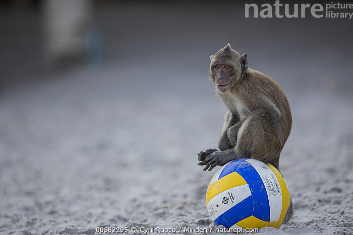 Long-tailed Macaque (Macaca fascicularis) on ball on beach, Thailand  ,  Adult, Ball, Beach, Color Image, Day, Full Length, Funny, Horizontal, Humor, Long-tailed Macaque, Macaca fascicularis, Nobody, One Animal, Outdoors, Photography, Side View, Soccer, Thailand, Wildlife,Long-tailed Macaque,Thailand  ,  Cyril Ruoso