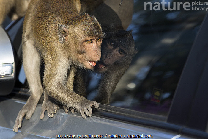 Long-tailed Macaque (Macaca fascicularis) looking at reflection, Thailand  ,  Adult, Car, City, Color Image, Curiosity, Curious, Day, Horizontal, Interacting, Long-tailed Macaque, Macaca fascicularis, Nobody, One Animal, Outdoors, Photography, Reflection, Side View, Thailand, Three Quarter Length, Urban, Wildlife,Long-tailed Macaque,Thailand  ,  Cyril Ruoso