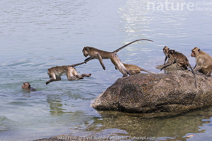 Long-tailed Macaque (Macaca fascicularis) group jumping into water, Thailand, Adult, Color Image, Day, Full Length, Horizontal, Jumping, Long-tailed Macaque, Macaca fascicularis, Medium Group of Animals, Nobody, Outdoors, Photography, Side View, Thailand, Troop, Water, Wildlife,Long-tailed Macaque,Thailand, Cyril Ruoso