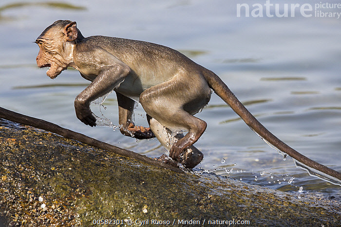 Long-tailed Macaque (Macaca fascicularis) playing in water, Thailand, Adult, Color Image, Day, Horizontal, Long-tailed Macaque, Macaca fascicularis, Nobody, One Animal, Outdoors, Photography, Playing, Side View, Thailand, Three Quarter Length, Water, Wet, Wildlife,Long-tailed Macaque,Thailand, Cyril Ruoso