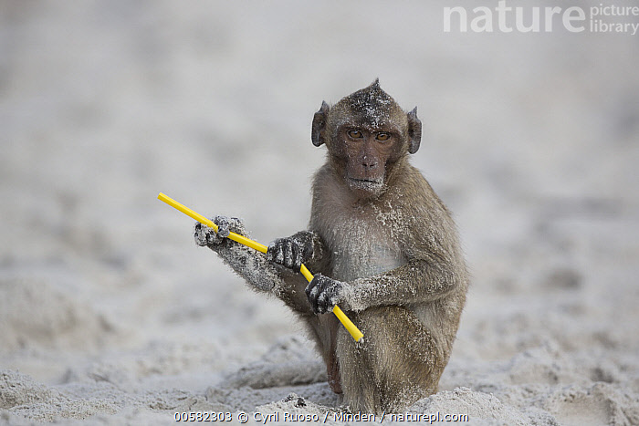 Long-tailed Macaque (Macaca fascicularis) playing with plastic on beach, Thailand  ,  Adult, Beach, Color Image, Day, Environmental Issue, Full Length, Horizontal, Looking at Camera, Long-tailed Macaque, Macaca fascicularis, Nobody, One Animal, Outdoors, Photography, Plastic, Playing, Pollution, Side View, Thailand, Wildlife,Long-tailed Macaque,Thailand  ,  Cyril Ruoso