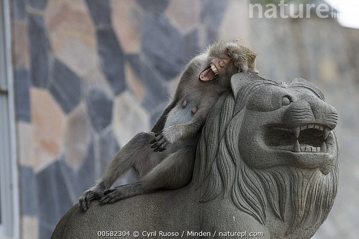 Long-tailed Macaque (Macaca fascicularis) yawning on statue, Thailand, Adult, City, Color Image, Day, Full Length, Funny, Horizontal, Humor, Long-tailed Macaque, Macaca fascicularis, Nobody, One Animal, Open Mouth, Outdoors, Photography, Side View, Statue, Thailand, Urban, Wildlife, Yawning,Long-tailed Macaque,Thailand, Cyril Ruoso