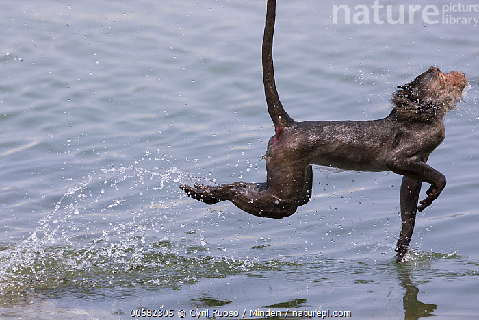 Long-tailed Macaque (Macaca fascicularis) playing in water, Thailand, Adult, Color Image, Day, Horizontal, Humor, Jumping, Long-tailed Macaque, Macaca fascicularis, Nobody, One Animal, Outdoors, Photography, Playing, Side View, Thailand, Three Quarter Length, Water, Wet, Wildlife,Long-tailed Macaque,Thailand, Cyril Ruoso