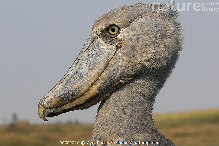 Shoebill (Balaeniceps rex), Bangweulu Wetlands, Zambia, Adult, Balaeniceps rex, Bangweulu Wetlands, Color Image, Day, Head, Horizontal, Nobody, One Animal, Outdoors, Photography, Portrait, Profile, Shoebill, Side View, Threatened Species, Vulnerable Species, Wading Bird, Wildlife, Zambia,Shoebill,Zambia, Cyril Ruoso