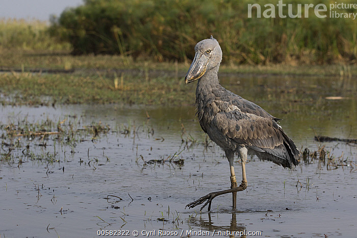 Shoebill (Balaeniceps rex) wading, Bangweulu Wetlands, Zambia  ,  Adult, Balaeniceps rex, Bangweulu Wetlands, Color Image, Day, Full Length, Horizontal, Nobody, One Animal, Outdoors, Photography, Shoebill, Side View, Threatened Species, Vulnerable Species, Wading, Wading Bird, Wildlife, Zambia,Shoebill,Zambia  ,  Cyril Ruoso