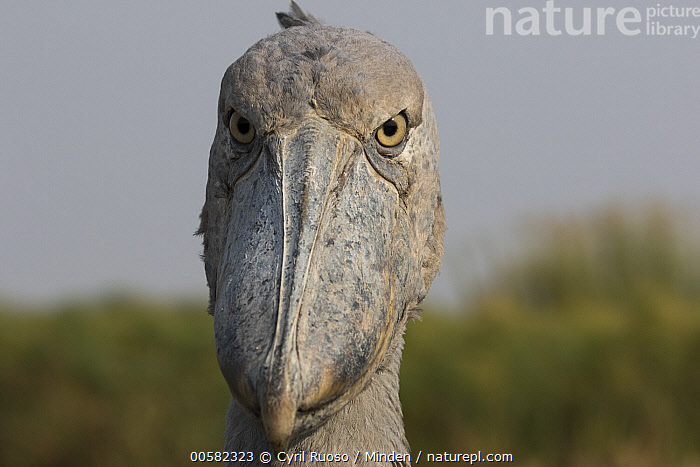 Shoebill (Balaeniceps rex), Bangweulu Wetlands, Zambia, Adult, Balaeniceps rex, Bangweulu Wetlands, Color Image, Day, Front View, Head, Horizontal, Looking at Camera, Nobody, One Animal, Outdoors, Photography, Portrait, Shoebill, Threatened Species, Vulnerable Species, Wading Bird, Wildlife, Zambia,Shoebill,Zambia, Cyril Ruoso