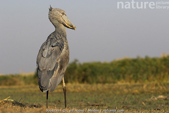 Shoebill (Balaeniceps rex), Bangweulu Wetlands, Zambia  ,  Adult, Balaeniceps rex, Bangweulu Wetlands, Color Image, Day, Full Length, Horizontal, Nobody, One Animal, Outdoors, Photography, Rear View, Shoebill, Threatened Species, Vulnerable Species, Wading Bird, Wildlife, Zambia,Shoebill,Zambia  ,  Cyril Ruoso