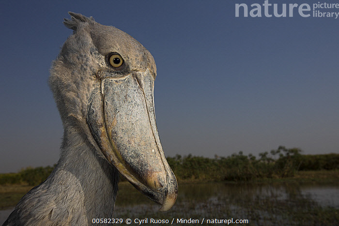 Shoebill (Balaeniceps rex), Bangweulu Wetlands, Zambia  ,  Adult, Balaeniceps rex, Bangweulu Wetlands, Color Image, Day, Head and Shoulders, Horizontal, Nobody, One Animal, Outdoors, Photography, Portrait, Profile, Shoebill, Side View, Threatened Species, Vulnerable Species, Wading Bird, Wide-angle Lens, Wildlife, Zambia,Shoebill,Zambia  ,  Cyril Ruoso