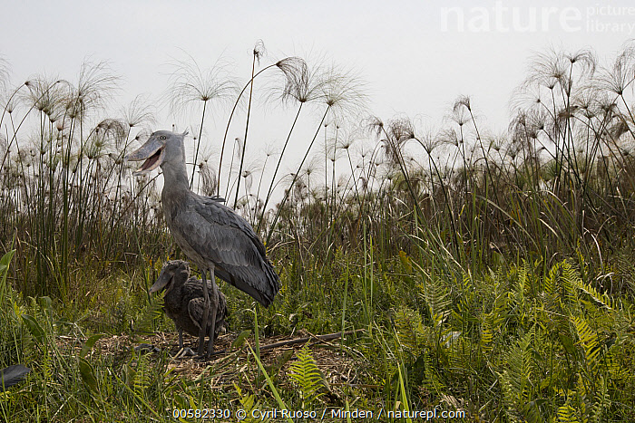 Shoebill (Balaeniceps rex) parent with two month old chick at nest, Bangweulu Wetlands, Zambia  ,  Adult, Animal in Habitat, Baby, Balaeniceps rex, Bangweulu Wetlands, Chick, Color Image, Day, Full Length, Horizontal, Nest, Nobody, Outdoors, Parent, Photography, Shoebill, Side View, Swamp, Threatened Species, Two Animals, Vulnerable Species, Wading Bird, Wildlife, Zambia,Shoebill,Zambia  ,  Cyril Ruoso