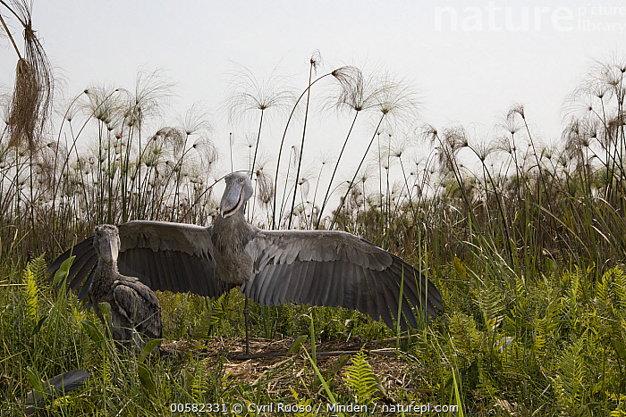Shoebill (Balaeniceps rex) parent shading two month old chick at nest, Bangweulu Wetlands, Zambia, Adult, Animal in Habitat, Baby, Balaeniceps rex, Bangweulu Wetlands, Chick, Color Image, Day, Front View, Full Length, Horizontal, Looking at Camera, Nest, Nobody, Outdoors, Parent, Photography, Shading, Shoebill, Side View, Spreading Wings, Swamp, Threatened Species, Two Animals, Vulnerable Species, Wading Bird, Wildlife, Zambia,Shoebill,Zambia, Cyril Ruoso