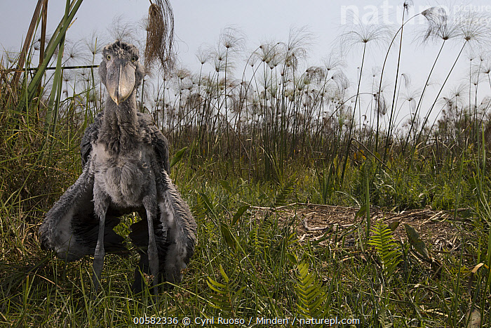 Shoebill (Balaeniceps rex) two month old chick at nest, Bangweulu Wetlands, Zambia  ,  Animal in Habitat, Baby, Balaeniceps rex, Bangweulu Wetlands, Chick, Color Image, Day, Front View, Full Length, Horizontal, Looking at Camera, Nest, Nobody, One Animal, Outdoors, Photography, Shoebill, Swamp, Threatened Species, Vulnerable Species, Wading Bird, Wildlife, Zambia,Shoebill,Zambia  ,  Cyril Ruoso