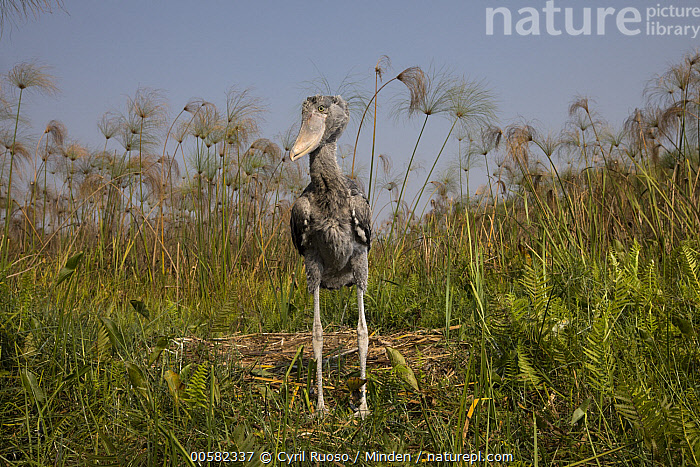 Shoebill (Balaeniceps rex) two month old chick at nest, Bangweulu Wetlands, Zambia  ,  Animal in Habitat, Baby, Balaeniceps rex, Bangweulu Wetlands, Chick, Color Image, Day, Front View, Full Length, Horizontal, Nest, Nobody, One Animal, Outdoors, Photography, Shoebill, Swamp, Threatened Species, Vulnerable Species, Wading Bird, Wildlife, Zambia,Shoebill,Zambia  ,  Cyril Ruoso