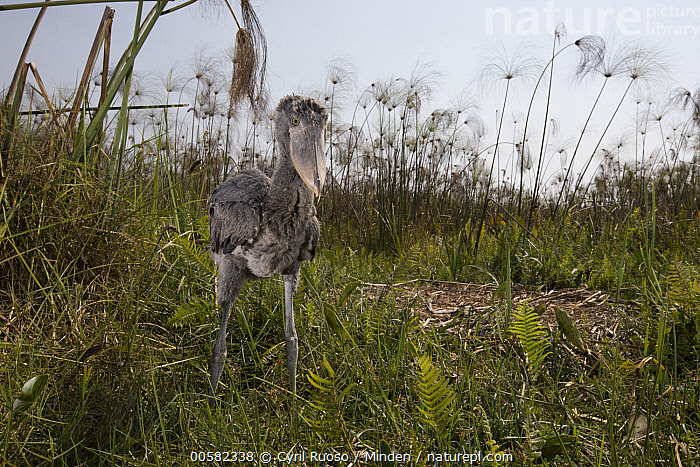 Shoebill (Balaeniceps rex) two month old chick at nest, Bangweulu Wetlands, Zambia, Animal in Habitat, Baby, Balaeniceps rex, Bangweulu Wetlands, Chick, Color Image, Day, Full Length, Horizontal, Nest, Nobody, One Animal, Outdoors, Photography, Shoebill, Side View, Swamp, Threatened Species, Vulnerable Species, Wading Bird, Wildlife, Zambia,Shoebill,Zambia, Cyril Ruoso