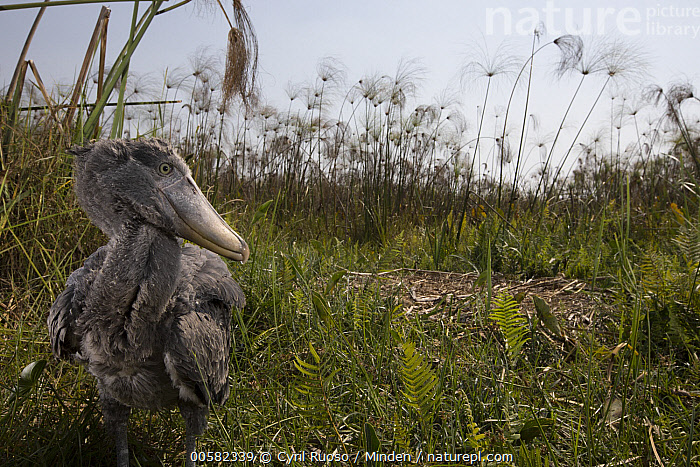 Shoebill (Balaeniceps rex) two month old chick at nest, Bangweulu Wetlands, Zambia  ,  Animal in Habitat, Baby, Balaeniceps rex, Bangweulu Wetlands, Chick, Color Image, Day, Front View, Horizontal, Nest, Nobody, One Animal, Outdoors, Photography, Shoebill, Swamp, Threatened Species, Three Quarter Length, Vulnerable Species, Wading Bird, Wildlife, Zambia,Shoebill,Zambia  ,  Cyril Ruoso