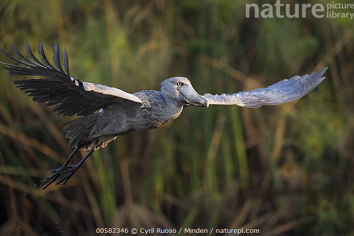 Shoebill (Balaeniceps rex) flying, Bangweulu Wetlands, Zambia, Adult, Balaeniceps rex, Bangweulu Wetlands, Color Image, Day, Flying, Full Length, Horizontal, Nobody, One Animal, Outdoors, Photography, Shoebill, Side View, Threatened Species, Vulnerable Species, Wading Bird, Wildlife, Zambia,Shoebill,Zambia, Cyril Ruoso
