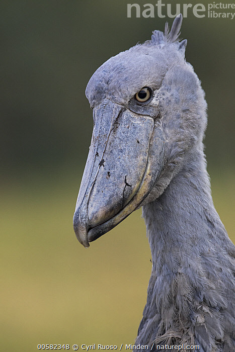Shoebill (Balaeniceps rex), Bangweulu Wetlands, Zambia  ,  Adult, Balaeniceps rex, Bangweulu Wetlands, Color Image, Day, Head and Shoulders, Nobody, One Animal, Outdoors, Photography, Portrait, Profile, Shoebill, Side View, Threatened Species, Vertical, Vulnerable Species, Wading Bird, Wildlife, Zambia,Shoebill,Zambia  ,  Cyril Ruoso