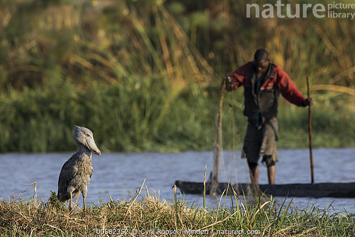 Shoebill (Balaeniceps rex) and fisherman, Bangweulu Wetlands, Zambia  ,  Adult, African Descent, Balaeniceps rex, Bangweulu Wetlands, Boat, Color Image, Day, Environmental Issue, Fisherman, Fishing, Front View, Full Length, Horizontal, Male, Man, One Animal, One Person, Outdoors, Photography, Shoebill, Side View, Threatened Species, Vulnerable Species, Wading Bird, Wildlife, Young Adult, Zambia,Shoebill,Zambia  ,  Cyril Ruoso