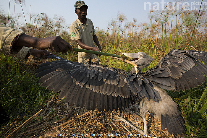 Shoebill (Balaeniceps rex) biologist, Elijah Mofya, banding two month old chick, Bangweulu Wetlands, Zambia  ,  African Descent, Baby, Balaeniceps rex, Banding, Bangweulu Wetlands, Biologist, Chick, Color Image, Day, Elijah Mofya, Full Length, Horizontal, Male, Man, One Animal, Outdoors, Photography, Shoebill, Side View, Threatened Species, Three Quarter Length, Two People, Vulnerable Species, Wading Bird, Wildlife, Young Adult, Zambia,Shoebill,Zambia  ,  Cyril Ruoso