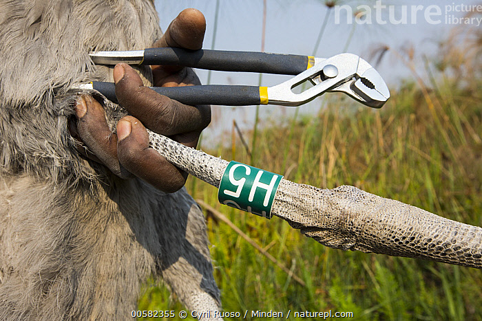 Shoebill (Balaeniceps rex) biologist, Elijah Mofya, banding two month old chick, Bangweulu Wetlands, Zambia  ,  African Descent, Baby, Balaeniceps rex, Banding, Bangweulu Wetlands, Biologist, Chick, Close Up, Color Image, Day, Elijah Mofya, Horizontal, Male, Man, One Animal, One Person, Outdoors, Photography, Shoebill, Side View, Threatened Species, Vulnerable Species, Wading Bird, Wildlife, Young Adult, Zambia,Shoebill,Zambia  ,  Cyril Ruoso